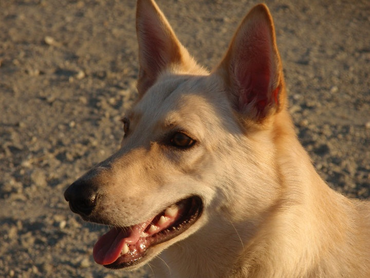 17 best images about canaan dog on pinterest