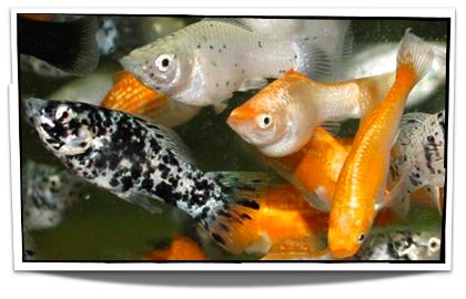 Assorted Mollies Fish For Sale - www.petfishforsale.com - Freshwater Fish For Sale - Buy Live Fish Online - Poecilia sphenops - Tropical Fish Sale - Pet Fish For Sale Online