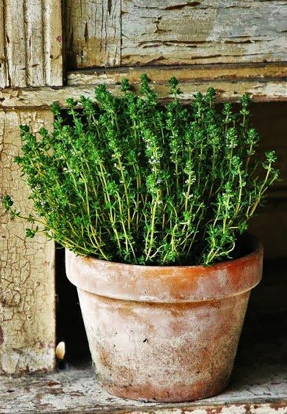 Thyme   Simply And Beautiful In A Simple Pot.