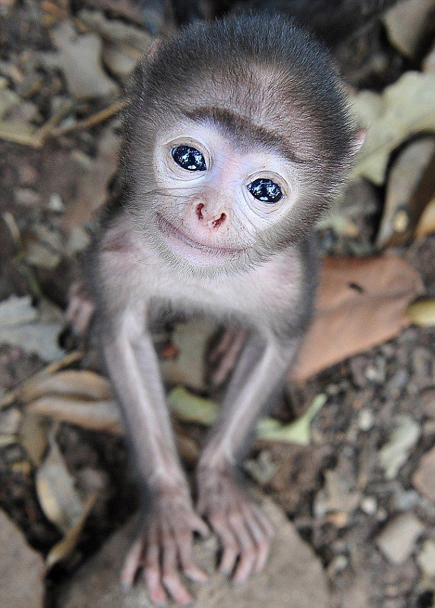 The adorable baby grey langur monkey