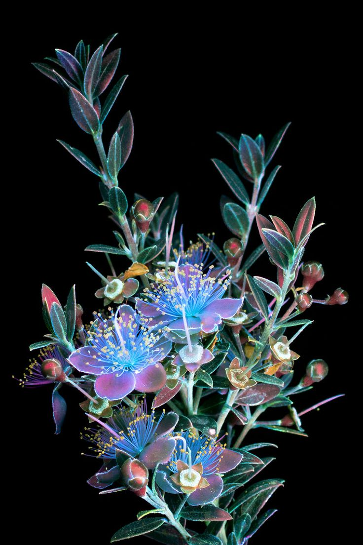 I Make Flowers Glow To Photograph Their Invisible Light. Flowers photographed using ultraviolet-induced visible fluorescence (UVIVF) photography.
