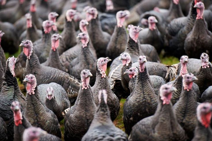 We choose to raise our traditional breed of Bronze turkeys because they're ideal for an organic system: lively, with a natural love of roaming and exploring, and slow-growing. This doesn't suit conventional farming, but it's perfect for us as they develop their flavour fully and taste fantastic.