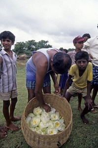 Harvesting white lotus in India