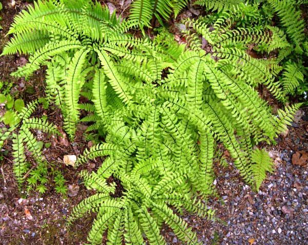 Garden Bush: 31 Best Gardening: Native Pacific NW Plants Images On