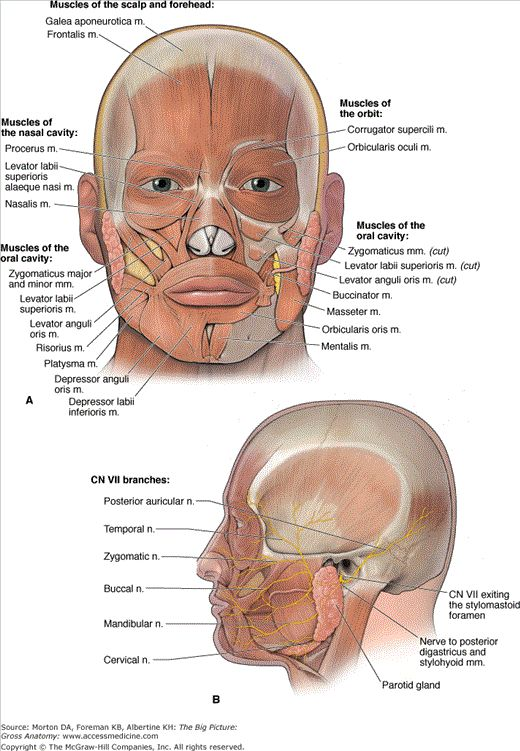 Facial expression muscles anatomy