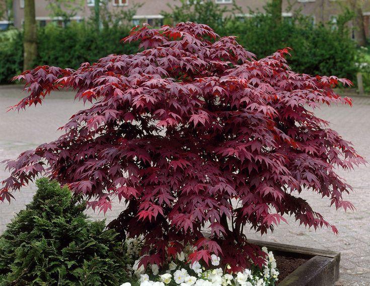 Roter Fächer-Ahorn (Acer palmatum 'Bloodgood') Acer palmatum Bloodgood