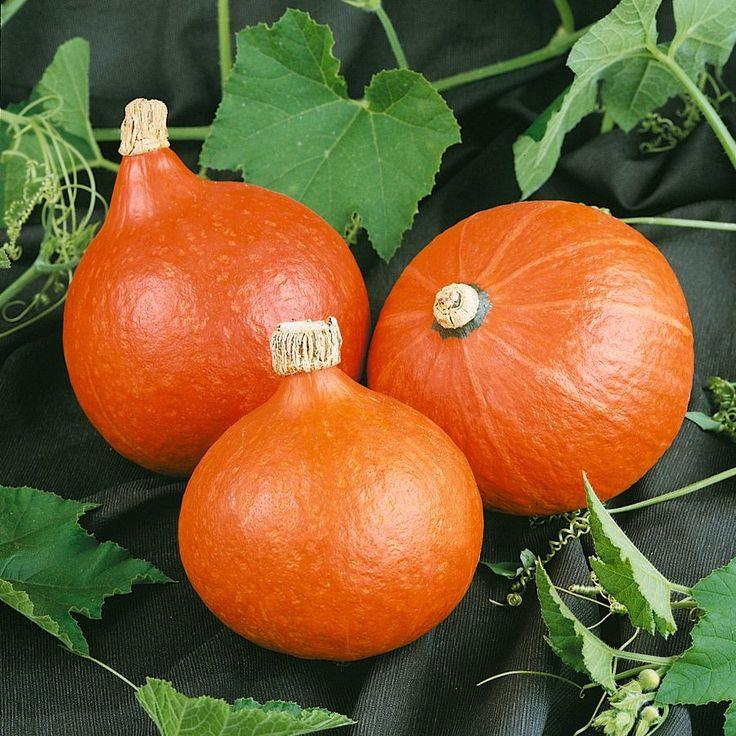 Dynia zwykła Hokkaido Orange