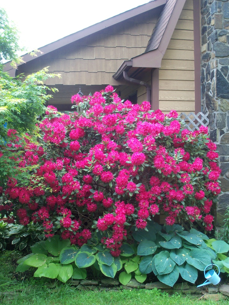 223 best garden rhododendrons azaleas images on for How to care for rhododendrons after blooming