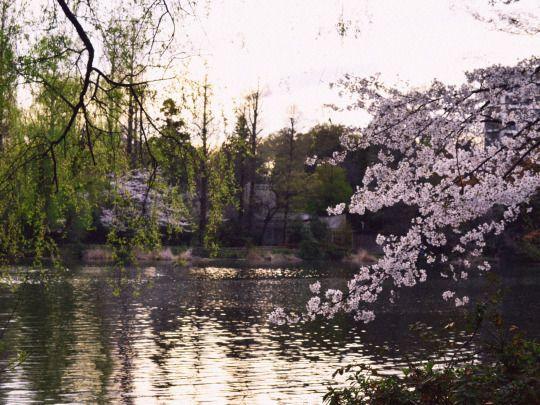 454:「桜、夕暮れ。」@井の頭恩賜公園
