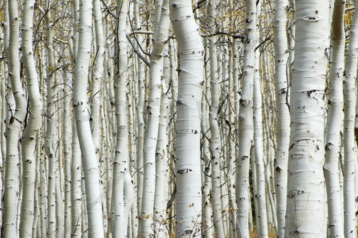 Aspen Forest - Wall Mural & Photo Wallpaper - Photowall