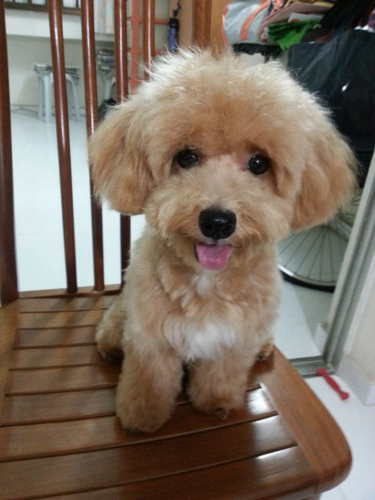 Curly the maltipoo puppy blog singapore maltipoo puppy