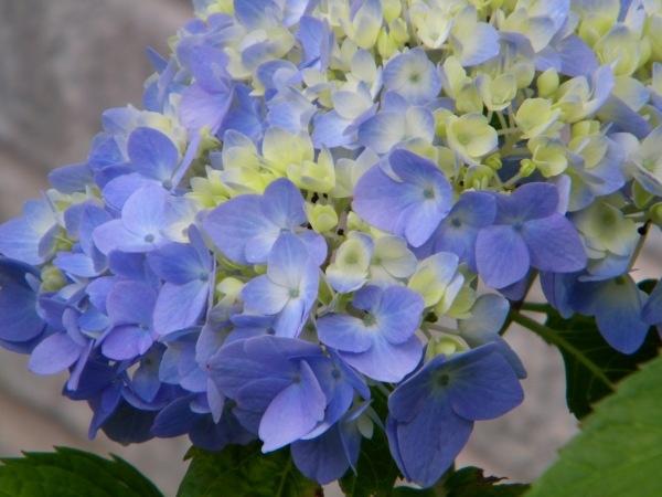'Nantucket Blue'. New petals look lemony yellow then mature to deep blue - shockingly gorgeous!: Blue Hydrangeas, Blue Nantucket, Hydrangeas Flowers, Flowers Power, Bloom Hydrangeas, Shock Blue, Call Nantucket, Nantucket Blue, Deep Blue
