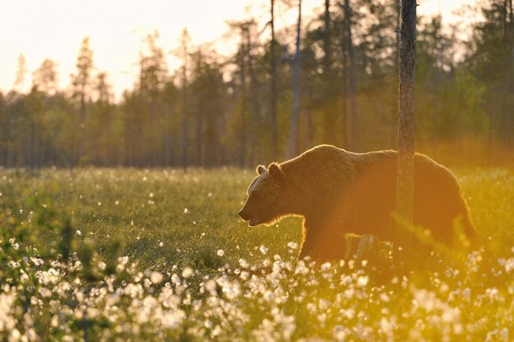 Bear Watching Kuhmo, Finland