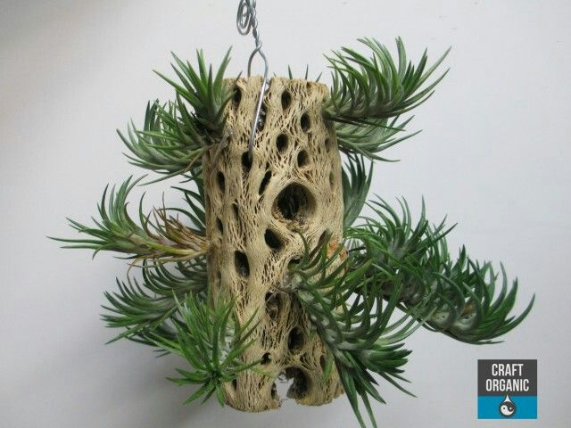 "Tillandsia - ""air plants"" for decor around wet closet and Wash Sector"