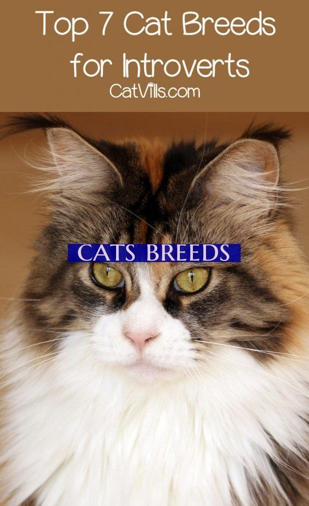 Looking For The Best Cat Breeds For Introverts Check Out