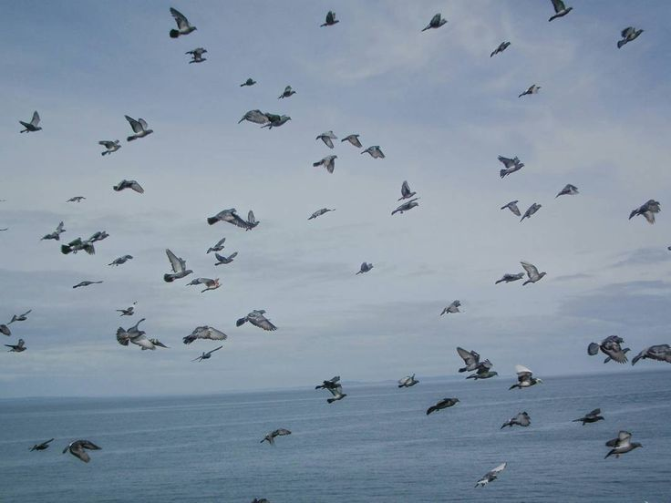 Standing  on the promenade  looking out to sea and this flock of birds flow into my view. I would love to be able fly away wouldn't  you?  #uk #wales #tenby #visitwales #cymru #seagulls #fly #free #freeasabird #sea #bird #nature #pigeon #fly #nofilter #flight #bird #sky #pembrokeshire
