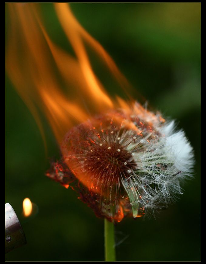 """ I have plenty of fire myself. What I need is the dandelion in the spring. The bright yellow that means rebirth instead of destruction. The promise that life can go on, no matter how bad our losses. That it can be good again. And only Peeta can give me that.      So after, when he whispers, ""You love me. Real or not real?""    I tell him, ""Real."" - Katniss Everdeen"