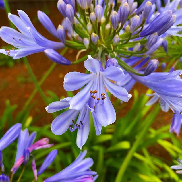Beautiful Agapanthus In Bloom Right Now Flowers Flower Flowering Plants Garden Gardening Plants Color Nature Instagram Pictures Plants Agapanthus