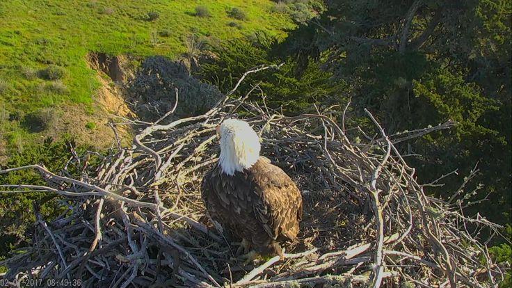 Bald Eagle Nest Cam - Sauces Eagles at Channel Islands NP | Explore.org
