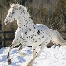caballos apalusa - Buscar con Google