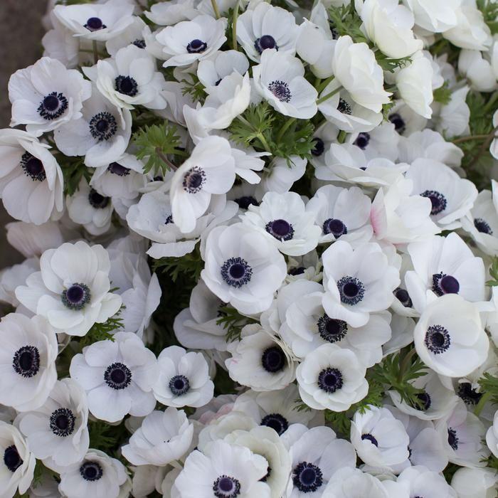 Anemone Black White Anemone Flower Flower Farm White Plants