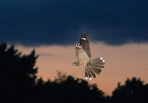 England's forests: Nightjars bird