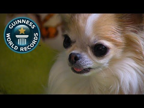 Tiniest Service Dog Will Make The Biggest Impact On You…You Must See How Cupcake Is Really A Life Saver! | FamilyPet