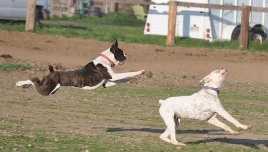 AKC natural boxers tales not docked, boxers with tails, boxers for sale, AKC Boxers for sale