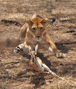 Lion hunting (and capturing) thompson gazelle. Photo taken by Thomson Safaris' guest, Vivianne Diaz during a private, family Thomson Safari.