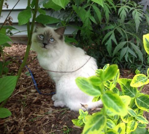 Adopt A Ragdoll Cat Nc