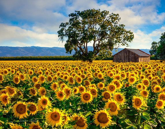 Yolo County , CA. Flower Photography, Sunflower Canvas Photo, Country Charm Art, California Floral…