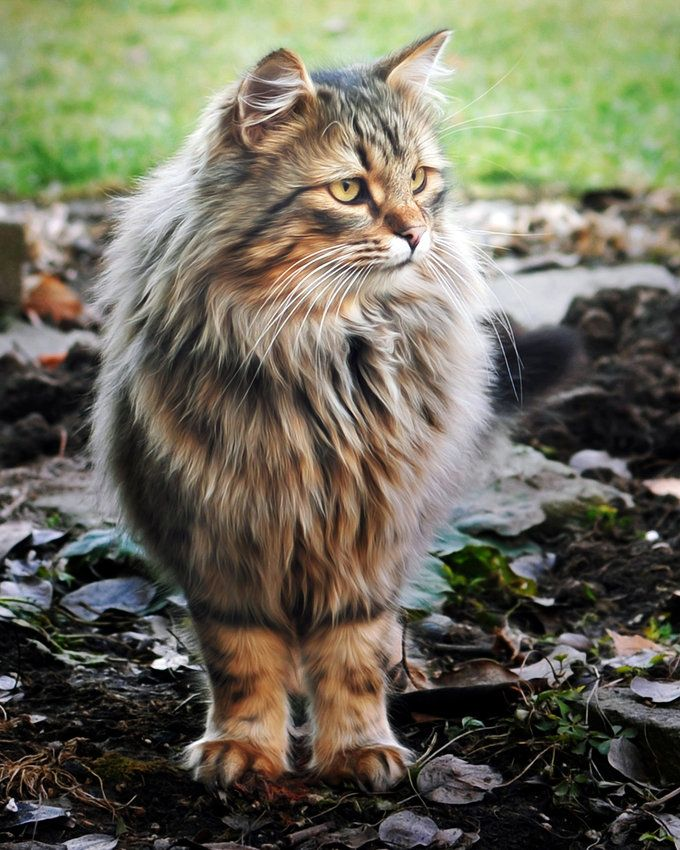 Maine Coon. Dog-like cats. They come when you call them, fetch, and are just awesome all around. I'd be lucky to have another cat like Bubba one day