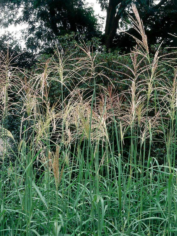 529 best gardening ornamental grasses images on for Perennial grasses for sun