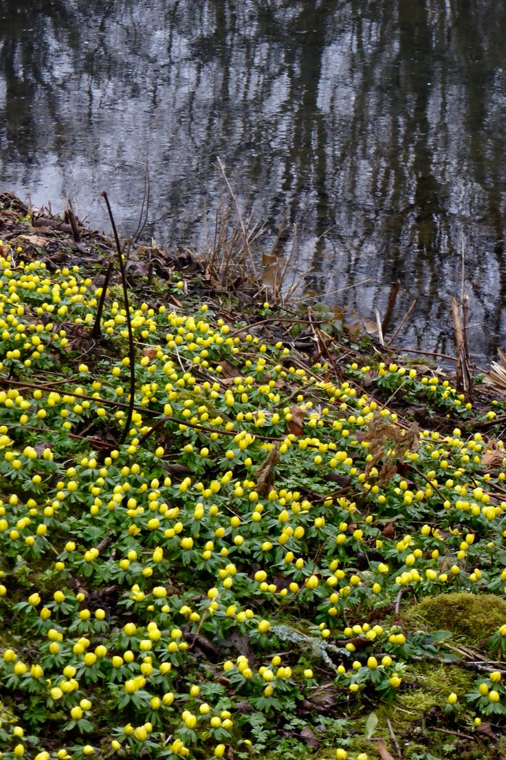 Aconites and reflections
