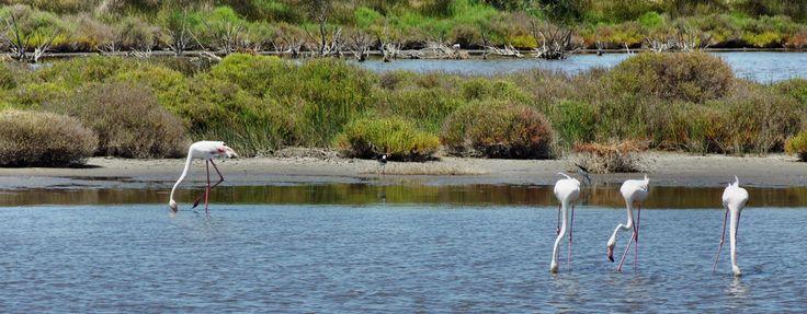 Przyroda Prowansji to także bez wątpienia flamingi królujące na Camargue. Wiedzą, że są obiektem pożądania fotografów i starają się nie zawieść oczekiwań.