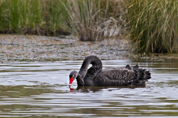 Black swan. Copulation on water. Lake Okareka, September 2012. Image © Raewyn Adams by Raewyn Adams