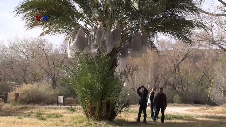 Kalau kurma identik Timur Tengah, kali ini tim VOA mengajak Anda melihat kebun kurma di Amerika Serikat. Kebun China Ranch berlokasi di sebuah oase gurun yang bernama Death Valley atau Lembah Kematian, di Tecofa, California.  Di YouTube: https://youtu.be/J3WBhdeHWKI
