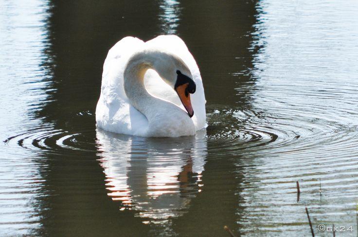 Zwaan - Swan ©gk24