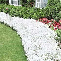 Snow-in-the-summer – PERENNIAL    A mass of white flowers blooming from late spring until early summer has woolly, silver foliage.     Grows in Zone 3