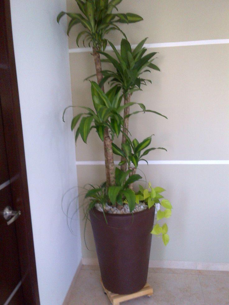 Palo de brasil y tel fono lim n macetas vivero la casita for Como iniciar un vivero en casa