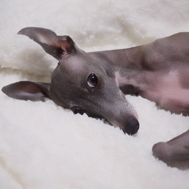 Chloe Italian Greyhounds