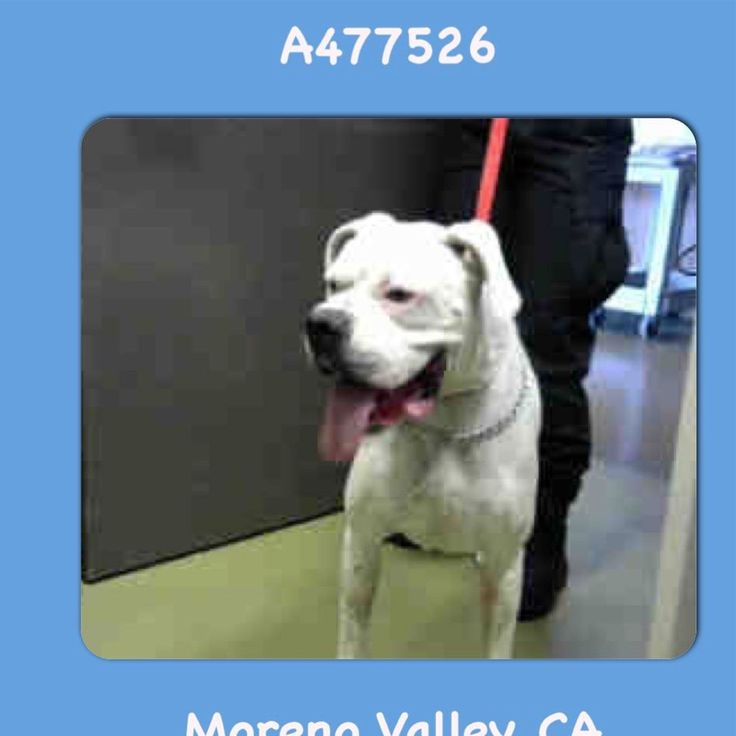 MAY BE AT RISK FOR EUTHANASIA IF NOT ADOPTED OR RESCUED BY SEPT 8th  ROCKY #A477526 Moreno Valley CA male white American Bulldog. The shelter thinks I am about 3 years old. I have been at the shelter since Sep 01 2017 and I may be available for adoption on Sep 08 2017 at 5:21PM.  http://ift.tt/2vIuuiS  Moreno Valley Animal Shelter at (951) 413-3790 Ask for information about animal ID number A477526 #Adoptdontshop #Adoptdontshopcalifornia #morenovalley #californiashelterdogs #dogsofinstagram…