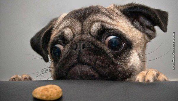 Increibles fotos de mascotas mirando comida