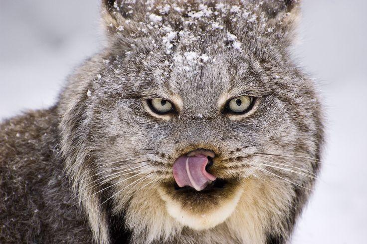 Muskoka Wildlife Centre - Lynx