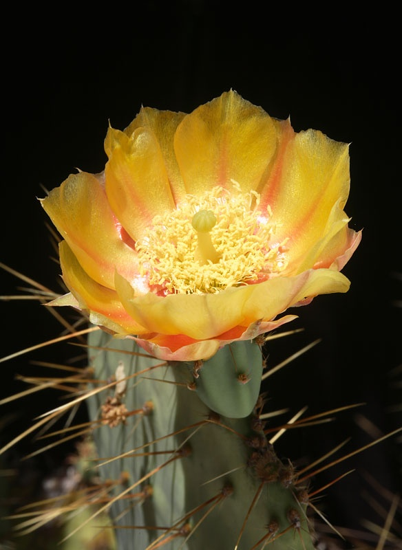 143 best opuntia images on pinterest