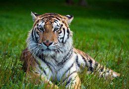 Where do Tigers Live