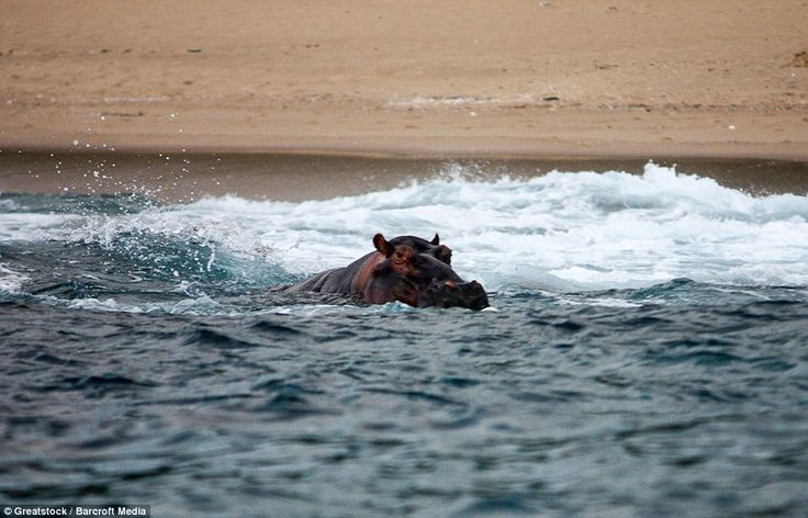Hippo-style: Mr Hippo wonders what all the fuss is about as he goes for a swim in the clea...