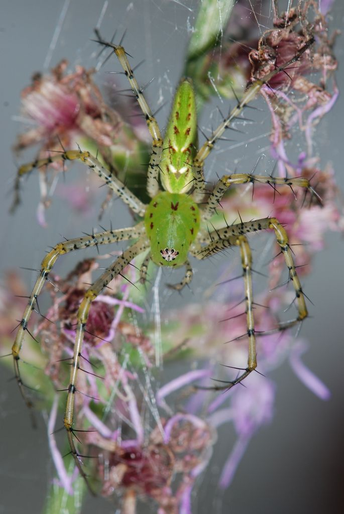 Green lynx spider on Opuntia cacti