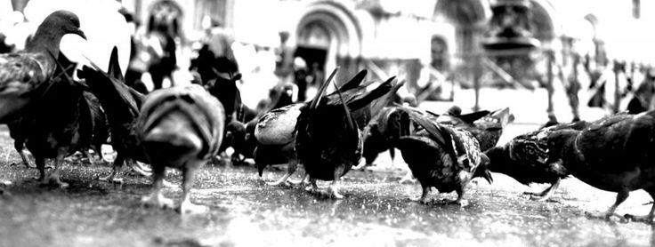 Vi siete mai chiesti perché Venezia sia invasa dai piccioni? Tutti noi, almeno una volta nella vita, abbiamo dato da mangiare a questi strani esseri