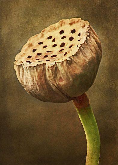 Lotus Pod by Widcat